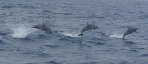 p1040016-dolphins-guiding-to-sao-nicolao-klein