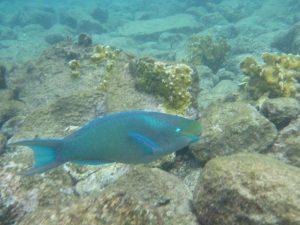 P1180974-Riff Doktorfisch-klein