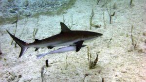 P1060185-shark mit Pilotfisch-klein