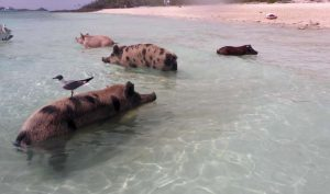 P1060334-swimming pigs-klein